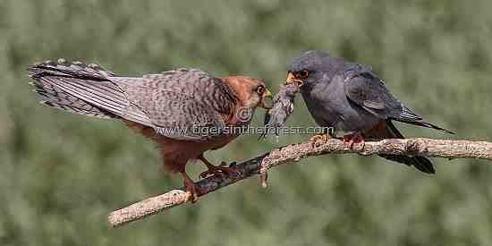Male Red-footed Falcon presenting grasshopper to female.