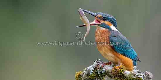 Kingfisher (Alcedo atthis) seen along a fast flowing river in Scotland.