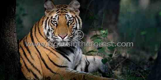 Male tiger in early morning light. (Panthera tigris tigris)