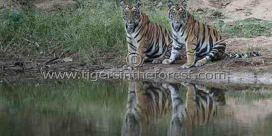 A pair of Tiger (Panthera Tigris Tigris) siblings waiting to enter the water.