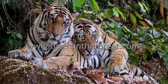 The brothers (Panthera tigris tigris)