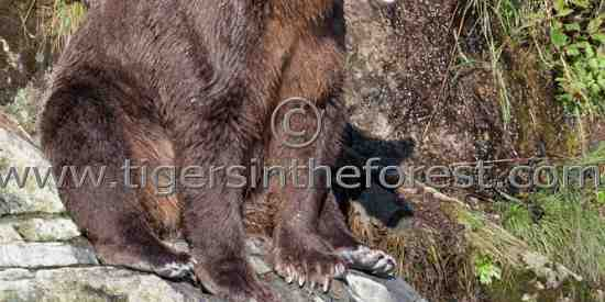 Brown Bear fishing. (Ursus arctos)