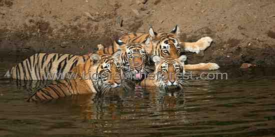 Berda tiger family (Panthera tigris tigris)