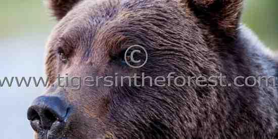 Portrait of a Brown bear (Ursus arctos)