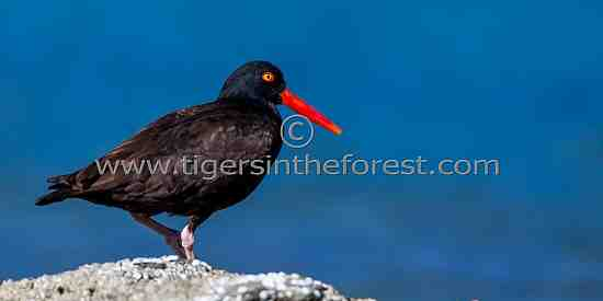 Oyster catcher ( Haematopus )