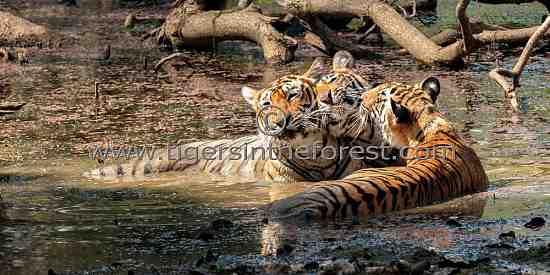 Krishna and cubs