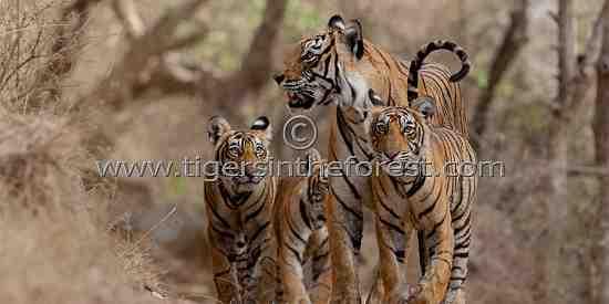 'Machali' and cubs (Panthera tigris tigris)