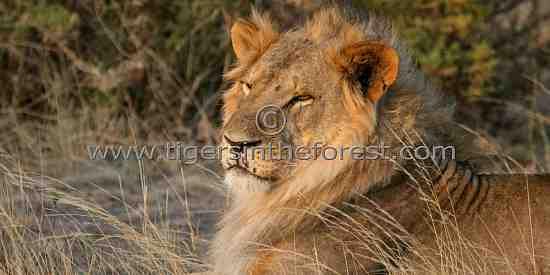 African Lion ( Panthera leo)