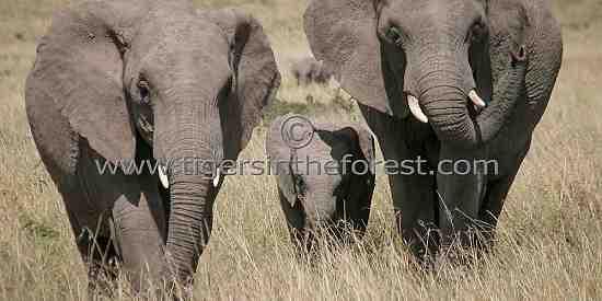 African Elephants ( Loxodonta)