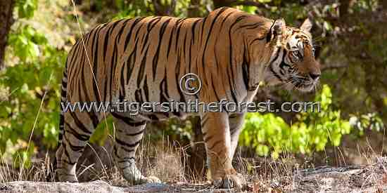 Male Tiger (Panthera tigris tigris)
