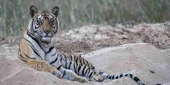 Young male tiger (Panthers tigris tigris)