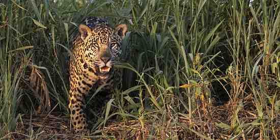 Jaguar seen at ThePantanal