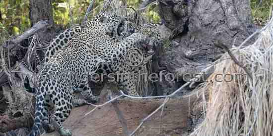 Jaguar siblings playing rough.