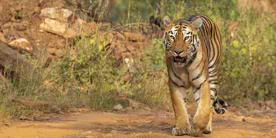 'Myer' the 'Queen' of Tadoba Tiger Reserve.