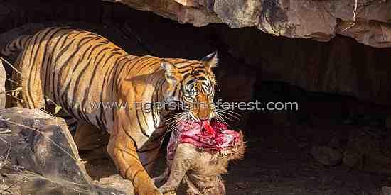 Tigress 'Noor' carrying her Sambar deer kill into a cave.
