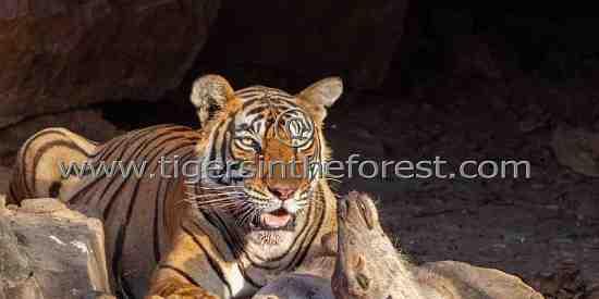 Tigress 'Noor' with kill