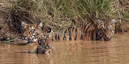 Tigress (Panthera tigris tigris) with her two cubs at a water hole