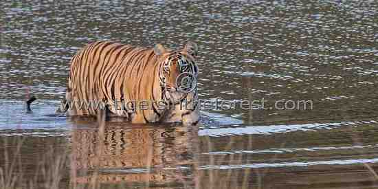 Sonam sub-adult tigress (Panthera tigris tigris)