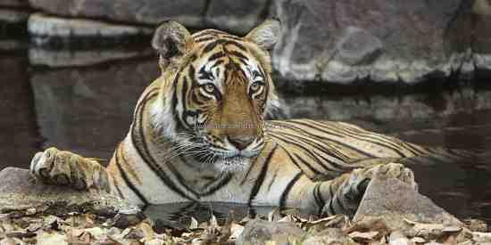 One of Ranthambhore's beautiful tigress's (Panthera tigris tigris)