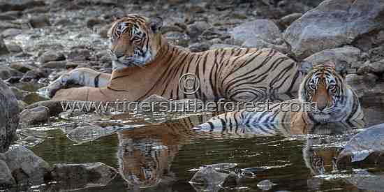 Siblings of Ranthambhore much loved tigress (Panthera tigris tigris)