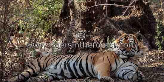 Ustad large male tiger of Ranthambhore (panthers tigris tigris)