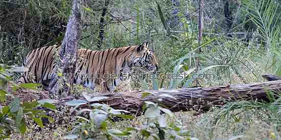 Tigers (Panthera tigris tigris) in the forest