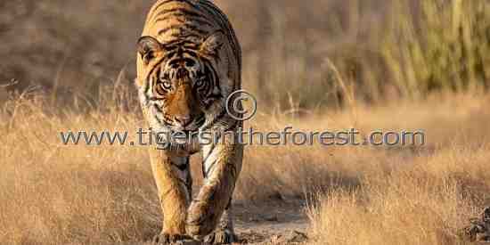 Young male tiger heading in my direction