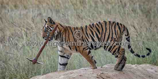 Young male tiger (Panther tigris tigris) collecting tools!