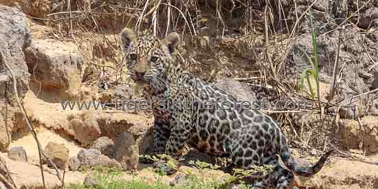 Jaguar cub searching for its mother