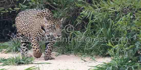 Large adult male Jaguar (Panthera onca)