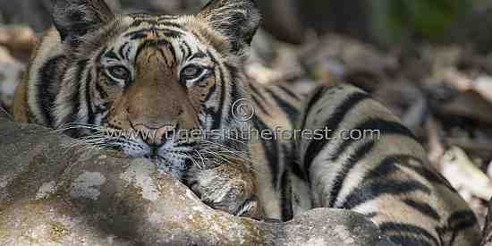 Young tiger looking at the meadow below from a high vantage point.