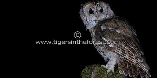Tawny Owl (Strix aluco) seen in a Scottish forest.