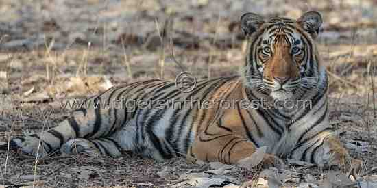 Magnificent young male tiger