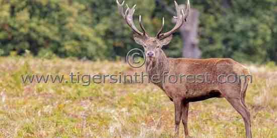 Red deer stag (Cervus Elaphus) at the time of the rut