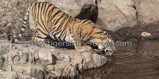 Thirsty young tiger