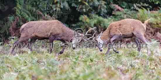Red deer (Cervus elaphus) rutting