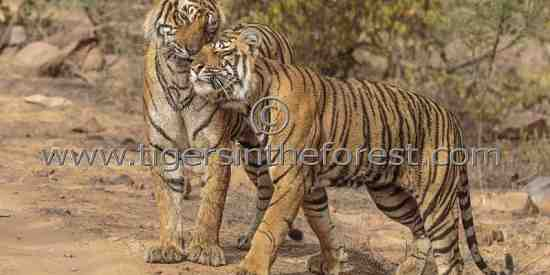 Tigress (Panthera tigris tigris) being affectionately greeted by her sub-adult cub