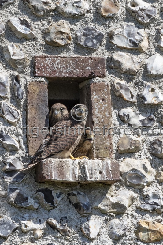 Young Kestrels (Falco Tinnunculus) about to fledge