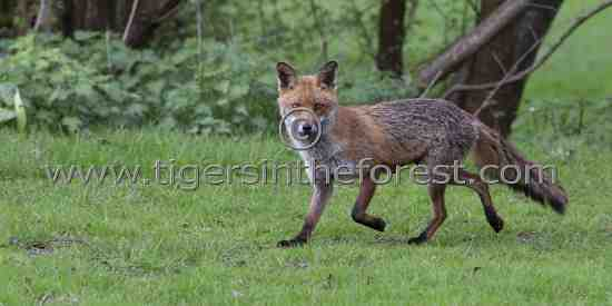 Fox (Vulpes vulpes) startled by my appearance