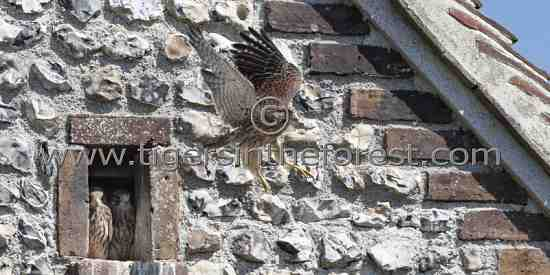 Young Kestrel learning to fly for the first time