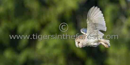 Barn Owl (Tyto alba) quartering over rough grassland in search of prey