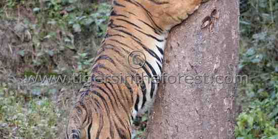 'Chota Munna' adult male tiger (Panthera tigris tigris)