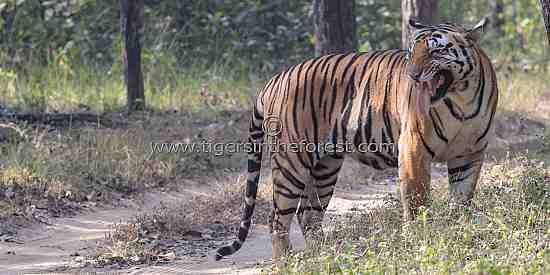 I can taste the scent of a tigress (Panthera tigris tigris) here!