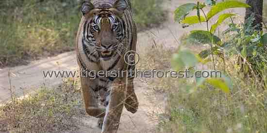 Tigress Choti Madhu giving chase to my jeep.