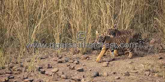 Young cubs of tigress Choti Dara