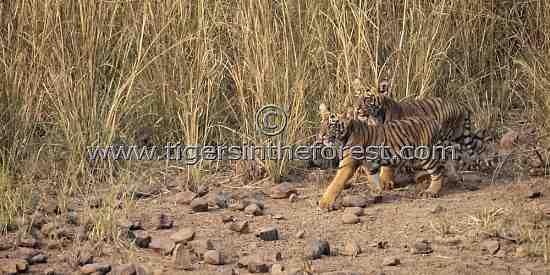 Young cubs of tigress Choti Dara