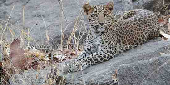 Young leopard (Panthera pardus fascia) cub seen at Pench