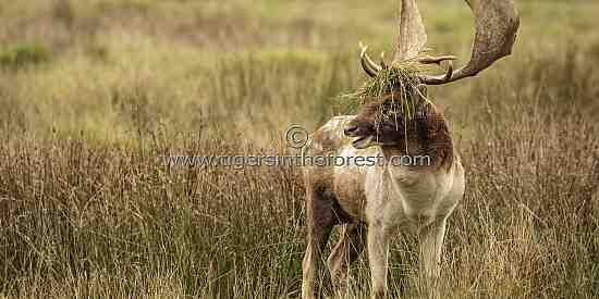Fallow Deer Stag (Dama dama) proudly displaying his 'enlarged' antlers.