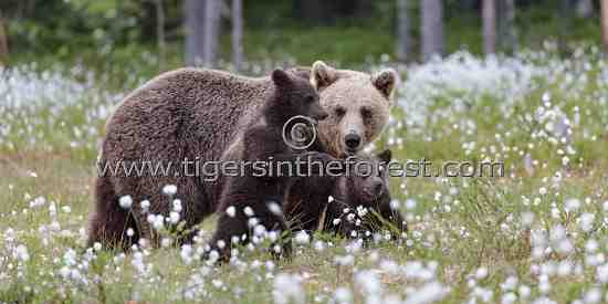 Female Brown bear with her two cubs