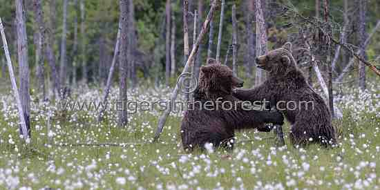 Young male bears sparring